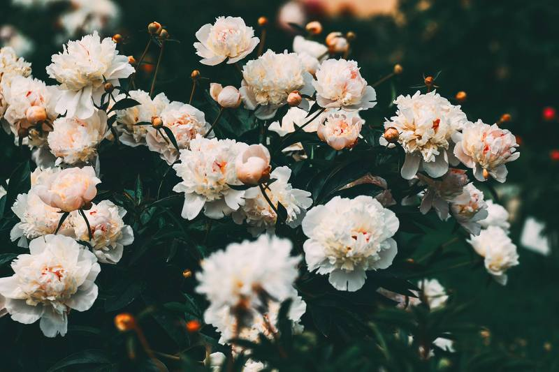 Rozes, rožu krūmi, Rundāle, Rundāles pils, ziedi, puķes, krūmrozes, Roses, rose shrubs, Rundale, Rundale castle, flowers, flowers, shrubs, bēšs, Beige  Anita Austvika