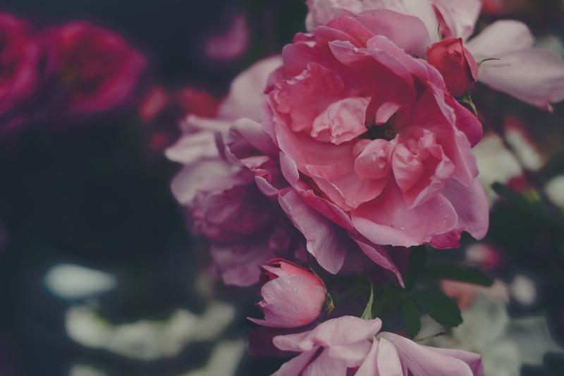 ziedi, rozes, pujenes, rozā, flowers, roses, pujenes, pink, Anita Austvika