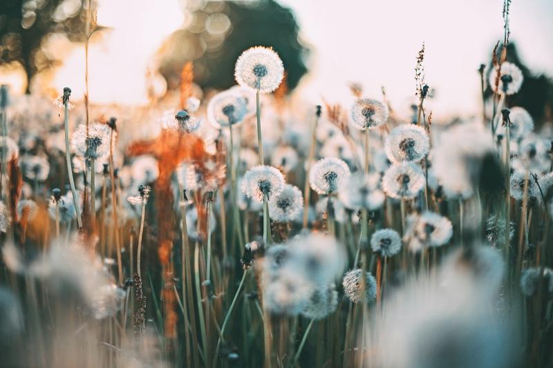pienenes, pieneņu pūkas, pļava, ziedoša pļava, lauki, dandelion, dandelion flocks, meadow, flowering meadow, fields Anita Austvika